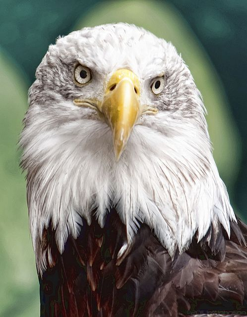 B. Eagle   Calva, Pluma y Ave