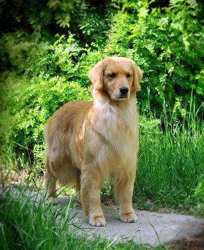 Can Ch Creeksidefrm S Candy Land Golden Retriever Bulldog Breeds