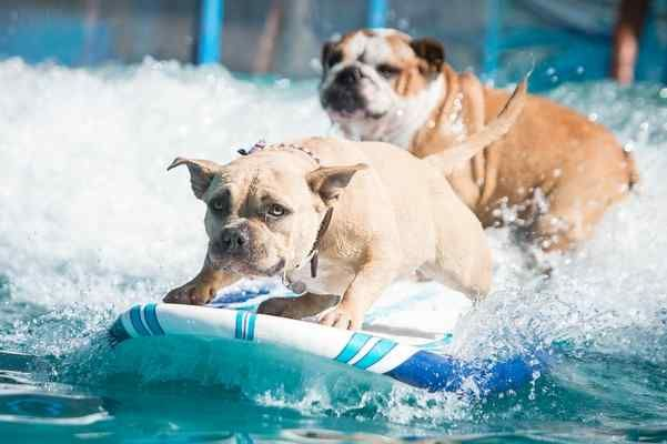 Surfing Dogs Try Out For Spot On Rose Parade Float In Pasadena Pets Dogs Rose Parade