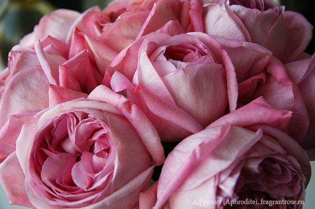 Афродит (Aphrodite) / Фея розы