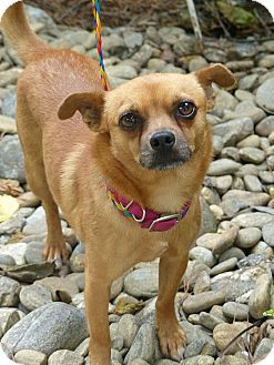 Fayetteville Nc Chihuahua Pomeranian Mix Meet Hugo A Dog For