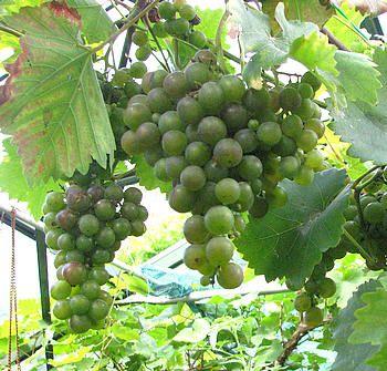 Fruit als klimplant kiwi en druiven zijn geschikt voor een pergola, een veranda of een lommerrijk terras