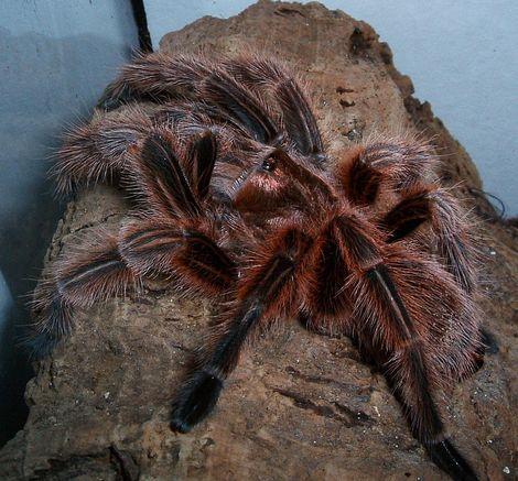 Giftige Spinnen In Beslag Genomen In Woning Vogelspinnen Weiblich Spinne