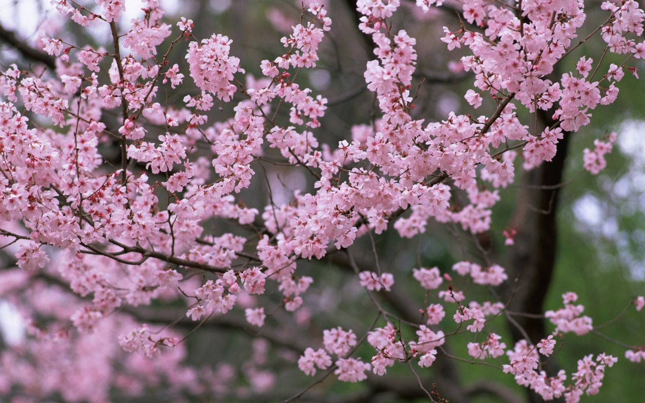 The Best Of Nature Photo Cherry Blossom Wallpaper Flowering Trees Spring Wallpaper