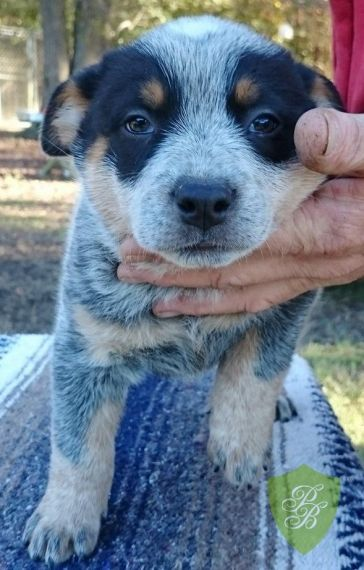 Puppies For Sale Texas Australian Cattle Dog Breeders Dog Breeder Blue Heeler Puppies Heeler Puppies