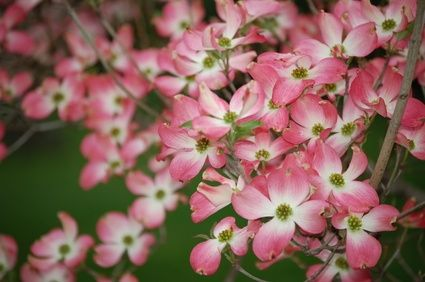 Dwarf Pink Flowering Dogwood Tree Dogwood Trees Pink Flowering Trees Shade Garden Plants