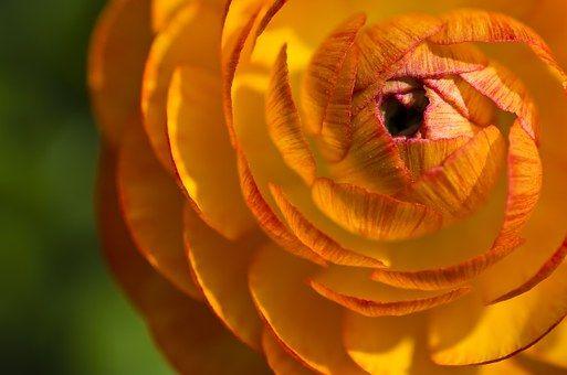 Ranunculus, Kukka, Sulje, Kukinta