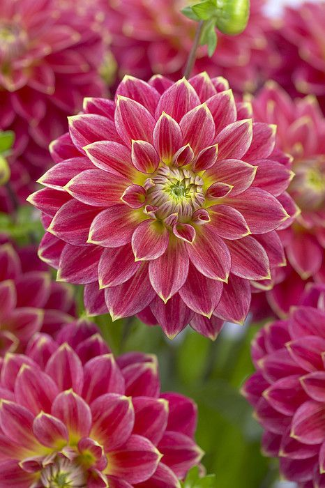 Dahlia Dahlia Sp Optimist Variety Art Print By Visionspictures Beautiful Flowers Dahlia Flower Amazing Flowers