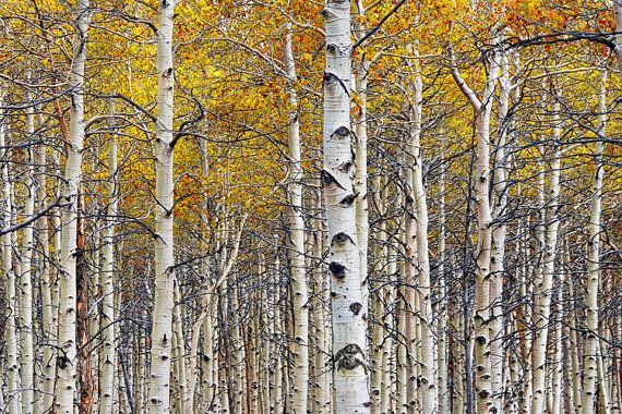 Steamboat Aspen Tree Trunks In Grove Poster Print Wall Art entitled Colorado