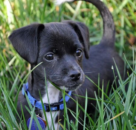 Dachshund Terrier Mix Chihuahua Mix Terrier Mix Chihuahua Puppies