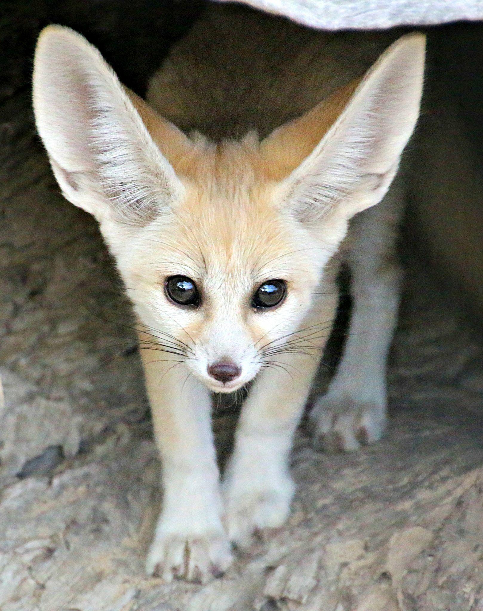 Fennec Fox Pet Fox Fennec Fox Fennec Fox Pet