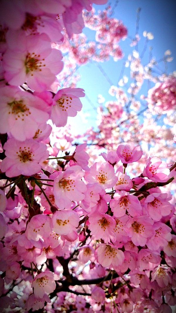 Pin By Wangaharu On Plants Cherry Blossom Wallpaper Flower Backgrounds Flowers Nature