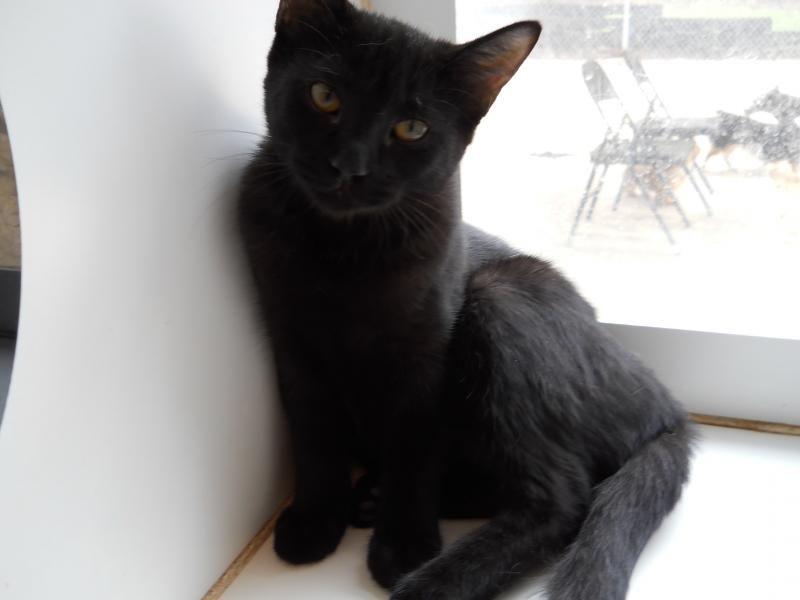 Adopt Princess On Petfinder Domestic Short Hair Short Hair Black Cats