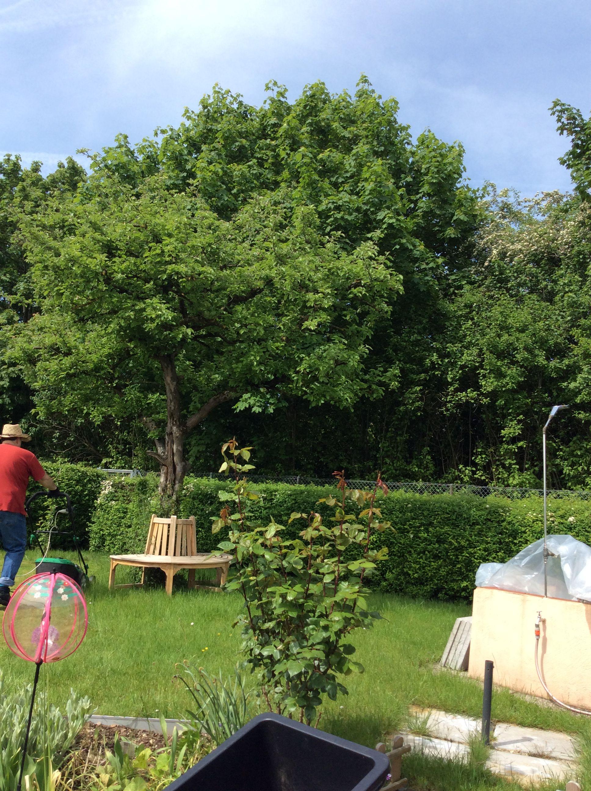 Unser Apfelbaum hat den radikalen Schnitt vor einigen Wochen super überstanden. Die Blätter sehen wieder kräftig aus. Und das diesen Sommer keine Äpfel kommen werden ist nur halb so wild :o)