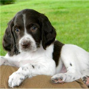 French Spaniel Spaniel Puppies Springer Spaniel Puppies