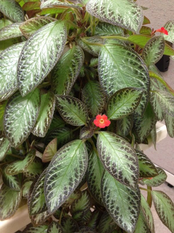 Flame Violet (episcia) This appears to be an Episcia, a