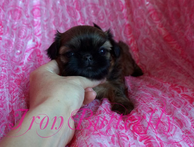Iron Butterfly Chinese Imperial Shih Tzu Tiny Teacup Puppies For Sale Quality Small Breeder #cuteteacuppuppies