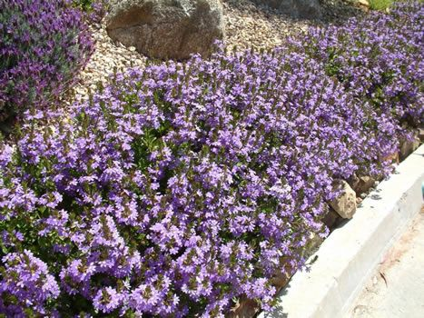 Fan flower scaevola mauve clusters this ground cover for Ground cover plant with purple flowers