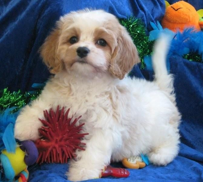 Cavachon Puppies Available For Sale To Loving Homes Puppies For