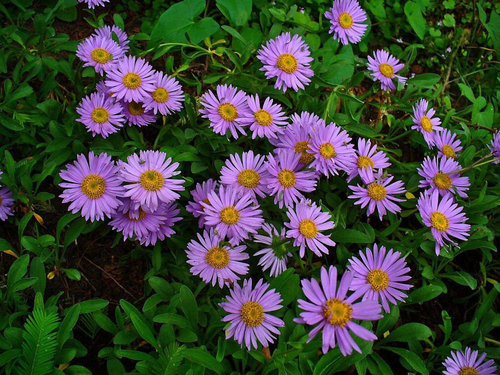 Aster Alpinus Alpine Aster World Of Flowering Plants Aster Plants Landscaping Plants