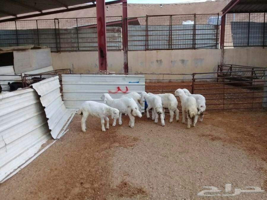 ذبايح للبيع 0554435958 ذبايح للمطاعم بالرياض ذبايح لقصور افراح ذبايح لجهات الإعاشة ذبايح لحم مفروم بالكميات المطلوبة مع التوصيل وبأسعار خاصة Animals Goats