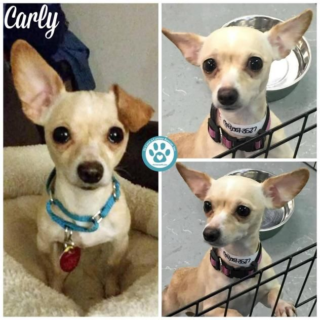 Adopt Carly On Rescues Chihuahua Dogs Dogs French Bulldog