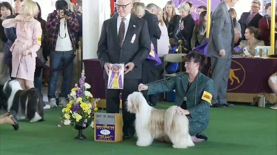 Phin The Tibetan Terrier Wins Best Of Breed At The Westminster