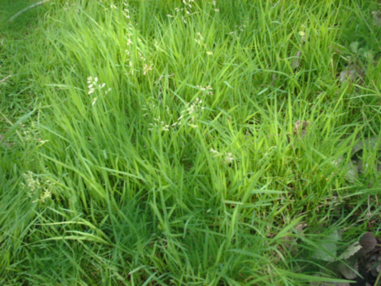 Grass no mow grass seed low maintenance grass lawn for Best low maintenance grass
