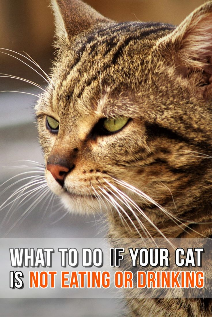 What to do if your cat is not eating or drinking. Cats