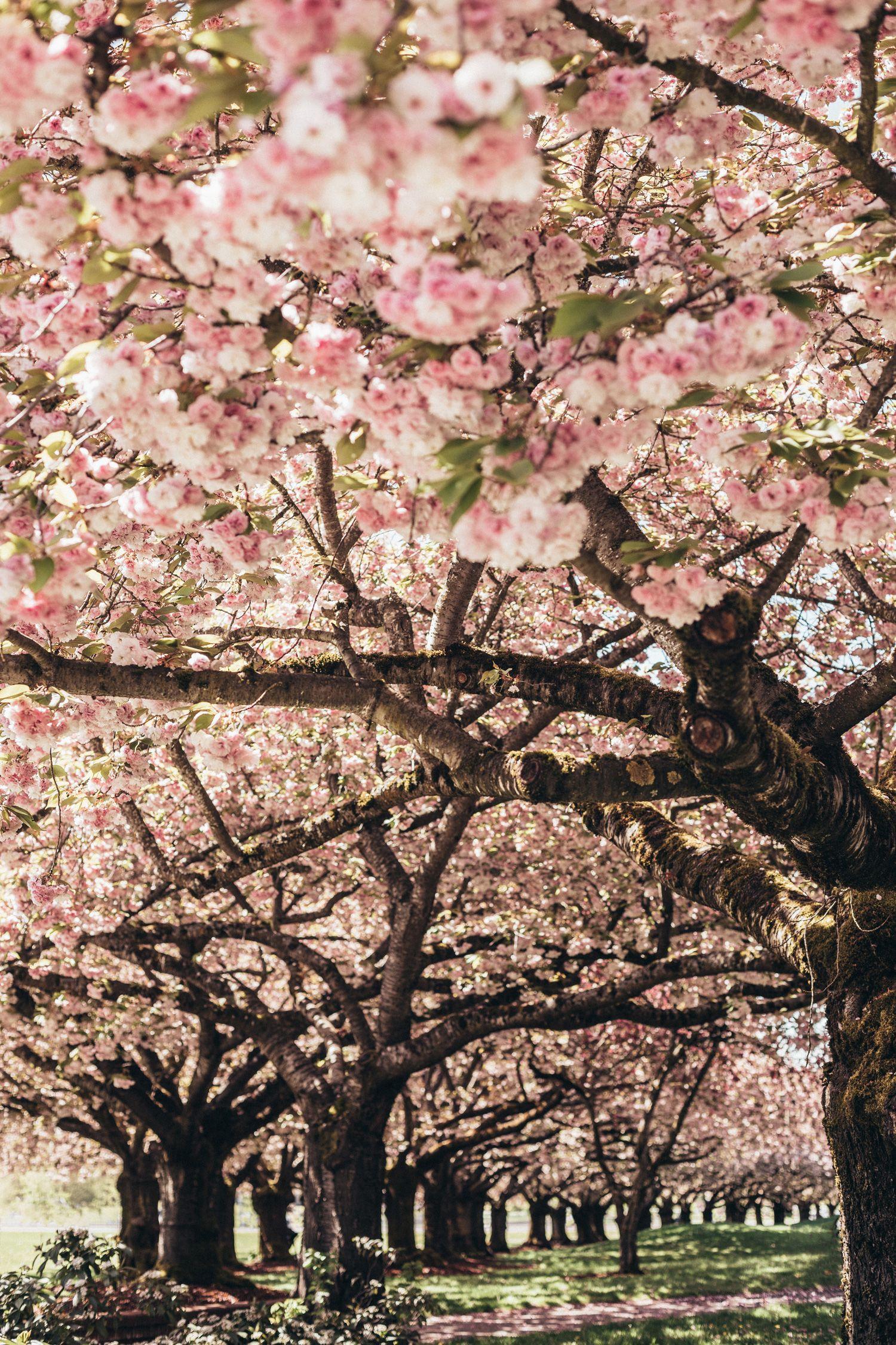 Shirofugen Cherry Blossom Trees Pastel Peach Outfit Blossom Trees Cherry Blossom Tree Cherry Blossom