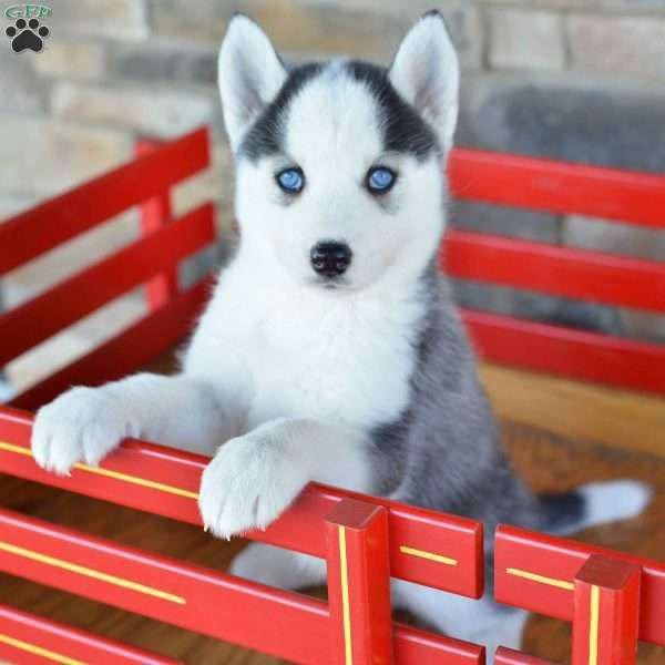 Pin On Siberian Huskies