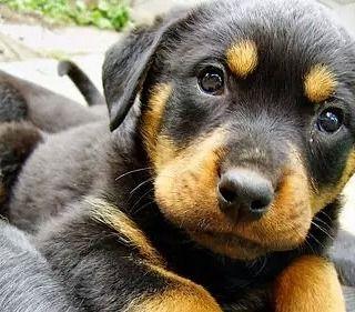 Aawwww That S The Cutest Baby By Rottweilerlover S Izobrazheniyami Shenki Rotvejlera Samye Milye Zhivotnye Kartinki S Shenkami