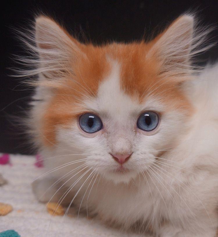 Blue Eyed Solid Ragdoll Kitten Cutestkittens Ragdoll Kitten Kitten Pictures Kittens