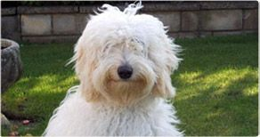 One Of Our Beautiful Boys Labradoodle Breeders Australian Labradoodle Australian Labradoodle Puppies