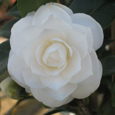 Camellia Japonica Snow White Showy Flowers Rock Garden Plants Camellia