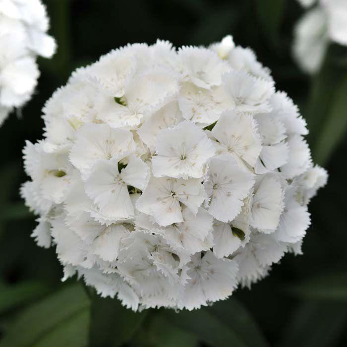 Dianthus sweet white f1 flower farm cut flowers and plants dianthus sweet white f1 mightylinksfo Gallery