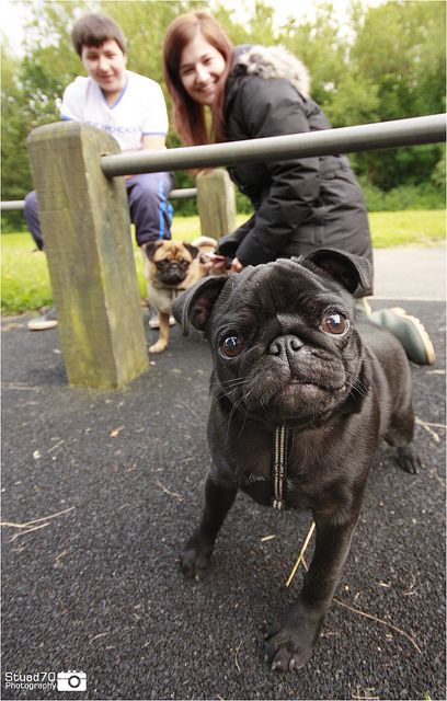 Pin On Group Pugs Best Dog Breed Ever