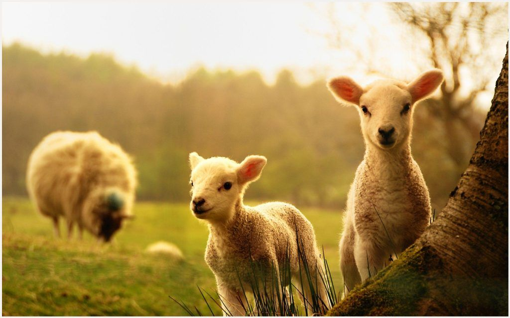 Spring Lamb Cute Sheep Wallpaper Spring Lamb Cute Sheep Wallpaper 1080p Spring Lamb Cute Sheep Wallpaper Des Small Farm Backyard Farming Terms Of Endearment