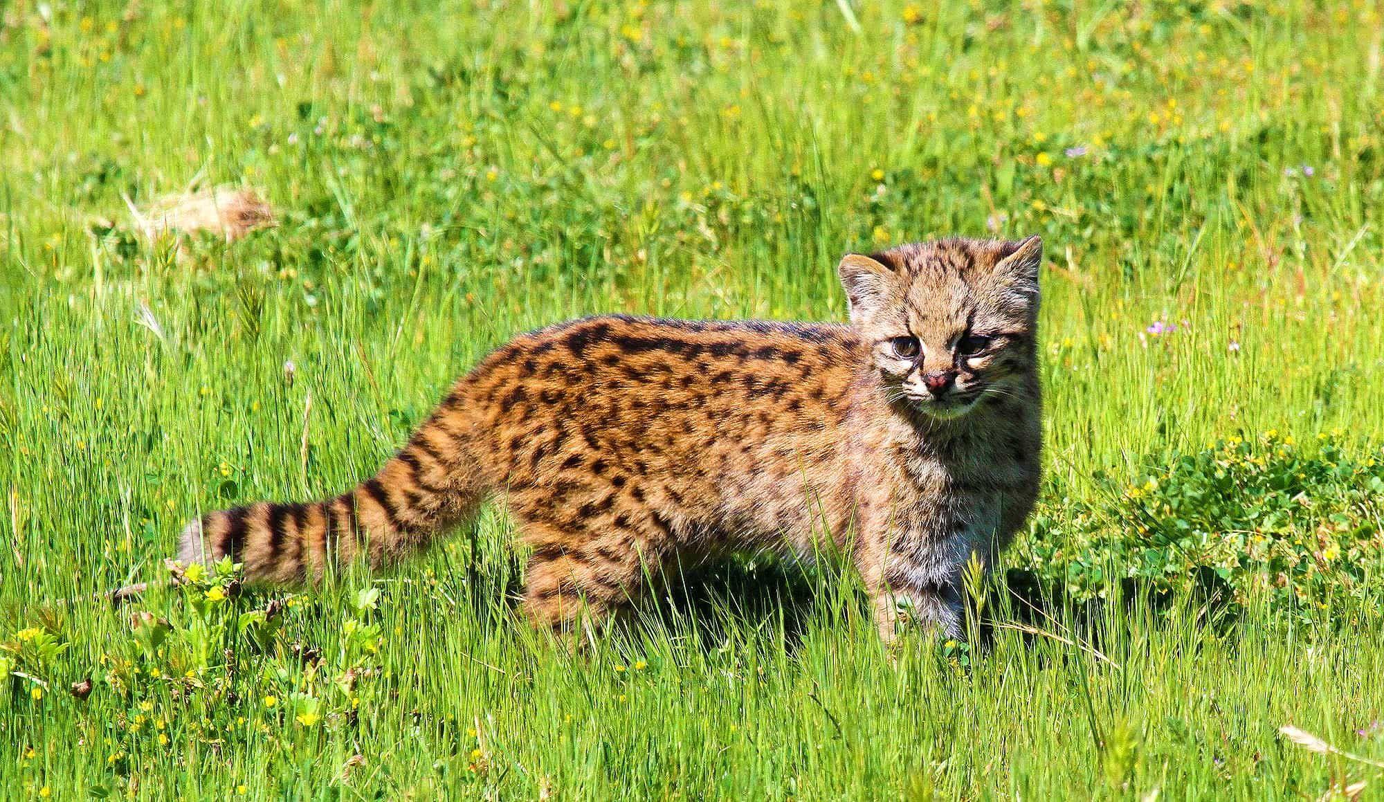 Kodkod a rare species of wild cat Rare cat breeds
