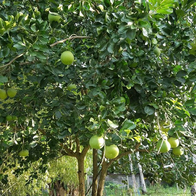 Pomelo Images Tree