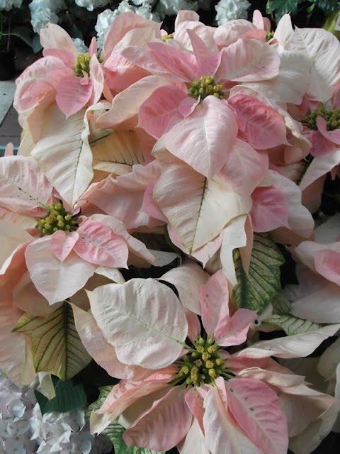 Elderberry Street Roger S Gardens Visit Pink Christmas Christmas Flowers Flowers