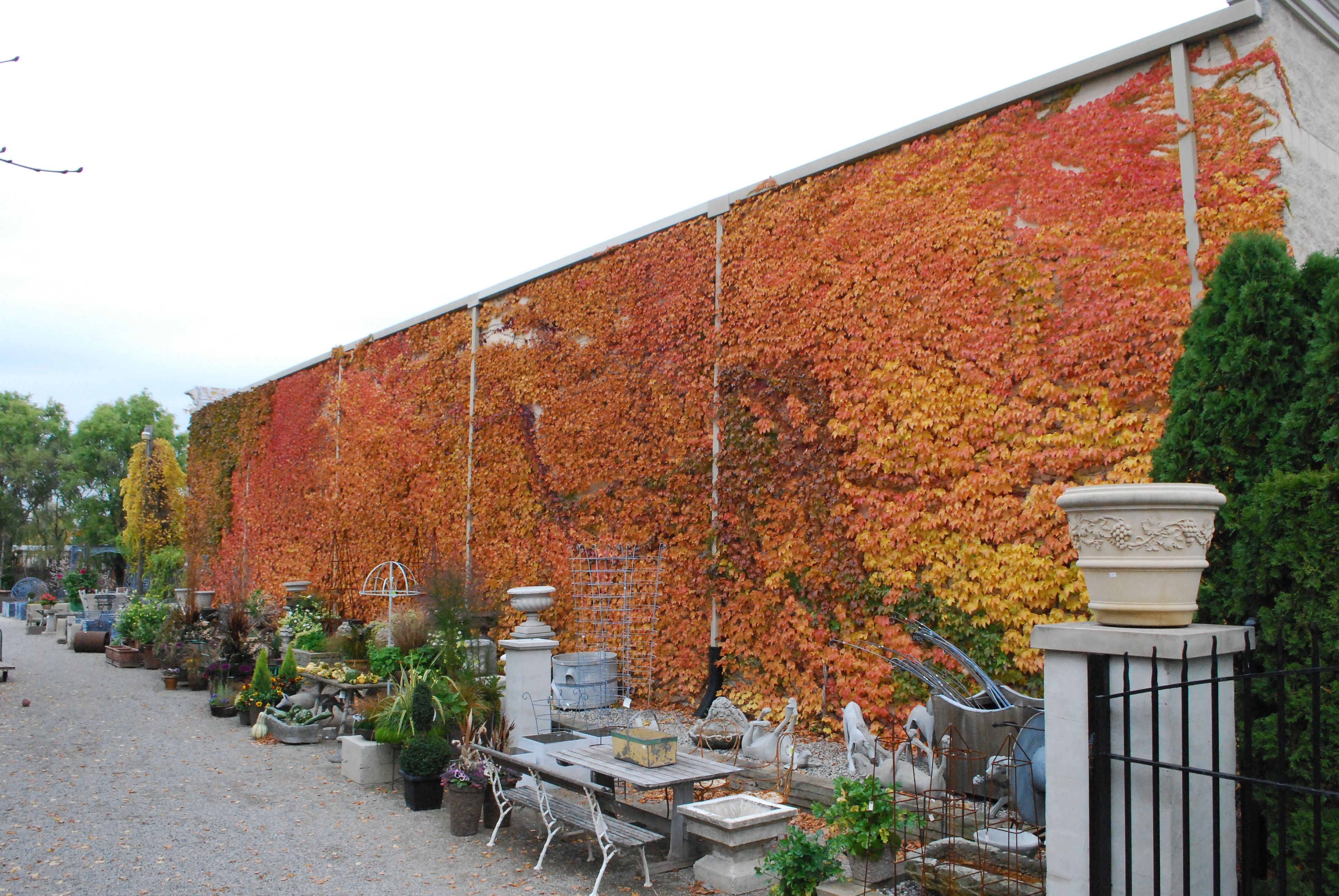 Boston ivy | Garden | Pinterest | Plants and Gardens