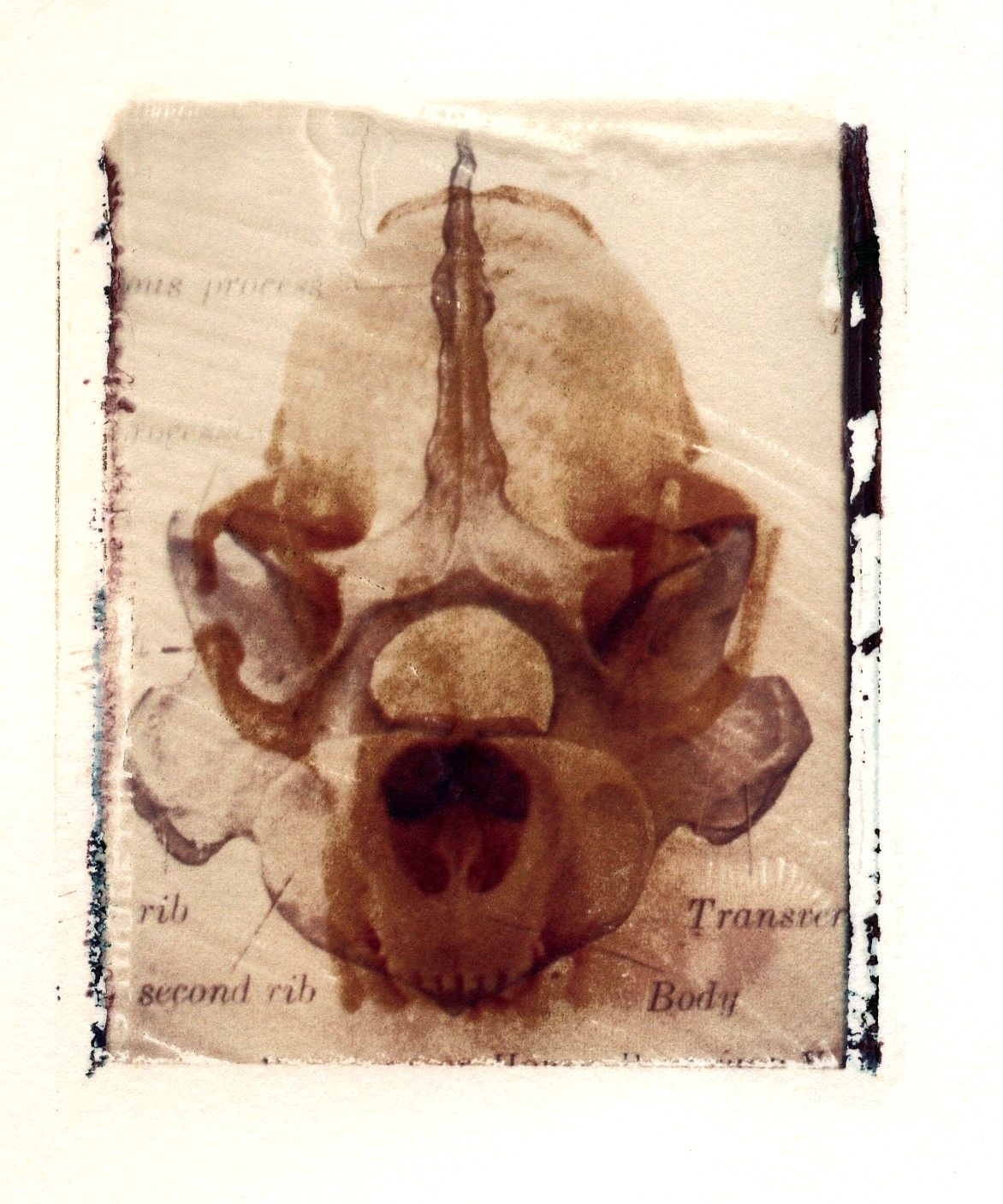 """Jane Linders """"X-Ray Terrestrial Plate II"""" #skulls"""