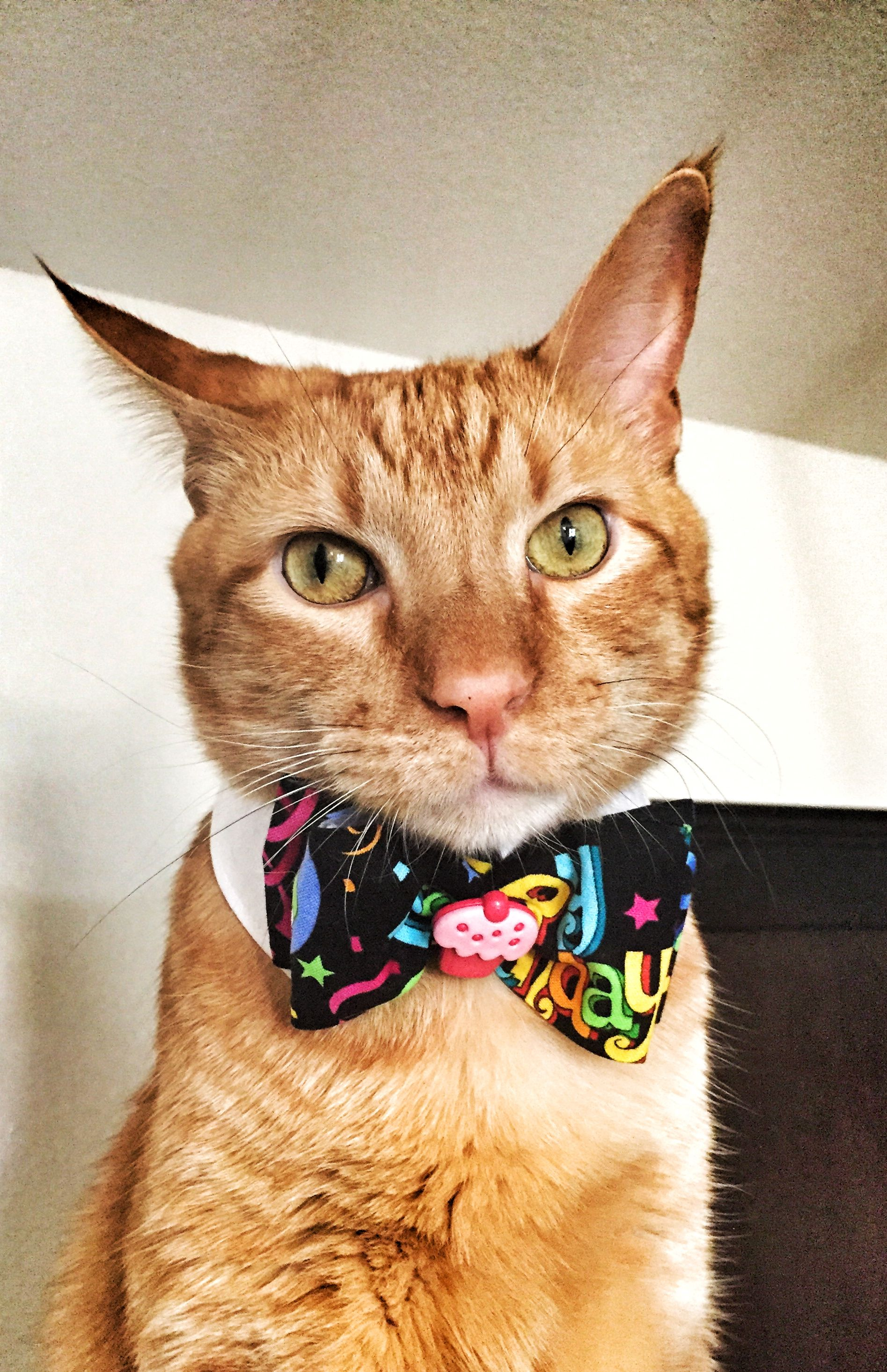 Vegas Wearing His New Waggle Wear Collar And Happy Birthday Bow Tie Cattie Catbowtie Catbirthday