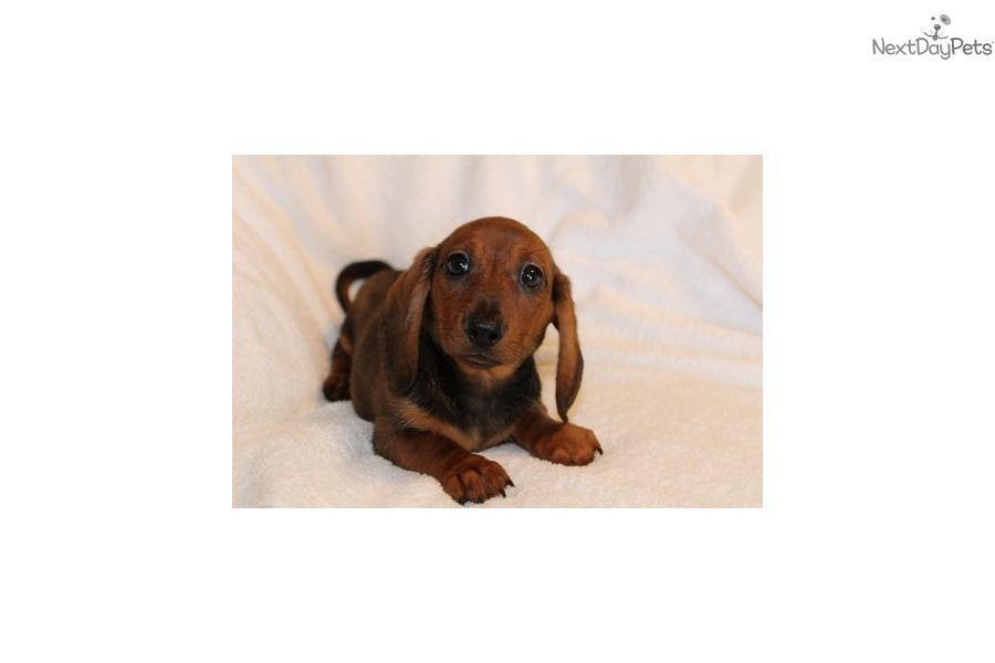 Dachshund Puppy For Sale Near San Antonio Texas 2390a7bf 2a51