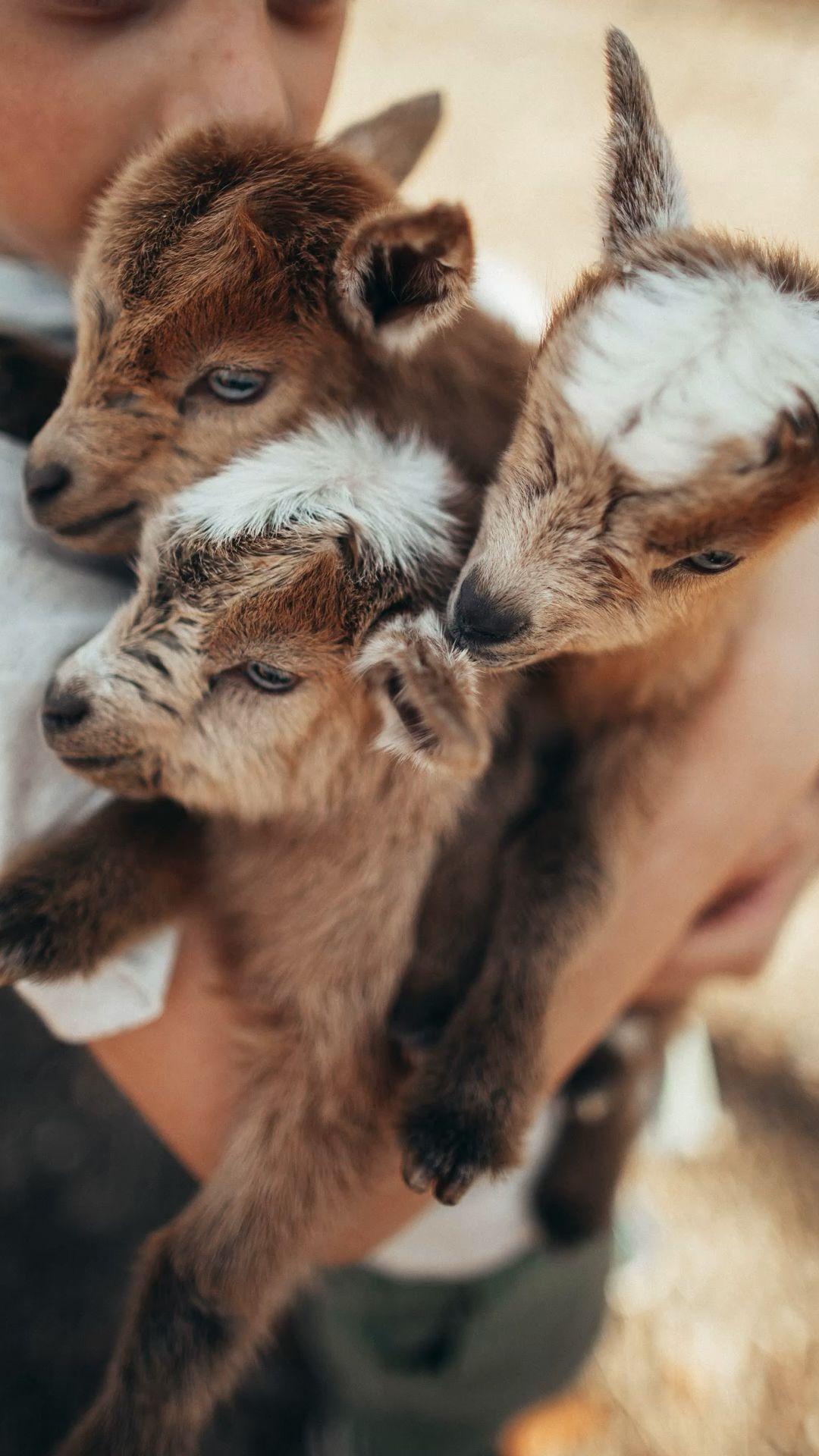 Tips for Raising Goats, Our Mini Farm, Homesteading