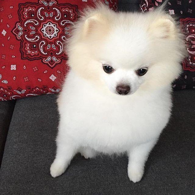 バニラのかおり ぷーん 今日からトリマーのお姉さん違う人 ドキドキ ポメラニアン ポメ ポメちゃん ポメラニアン大好き ポメラニアンが世界一可愛い わんこ わんちゃん モカ 愛犬 トリミング ポメカット いぬのいる暮らし