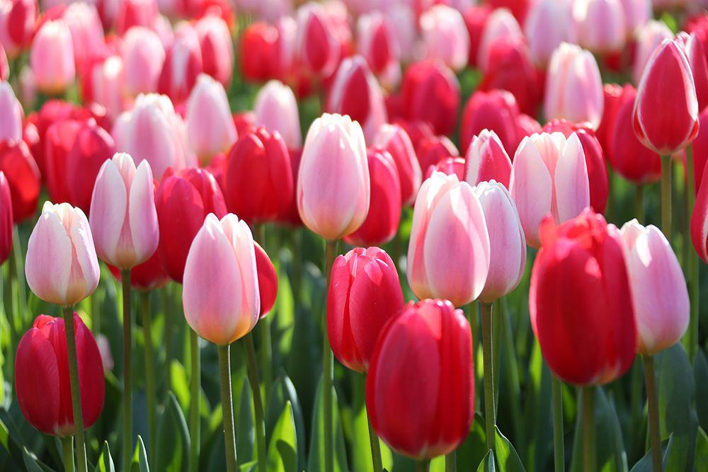 Tulip Delight Mix From Longfield Gardens Year Of The Tulip National Garden Bureau Tulips Springbulbs Gardening Tulips Garden Spring Flowers Bulb Flowers