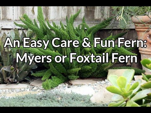 An Easy Care Fun Fern Myers Or Foxtail Fern Foxtail Fern Fern Plant Plants