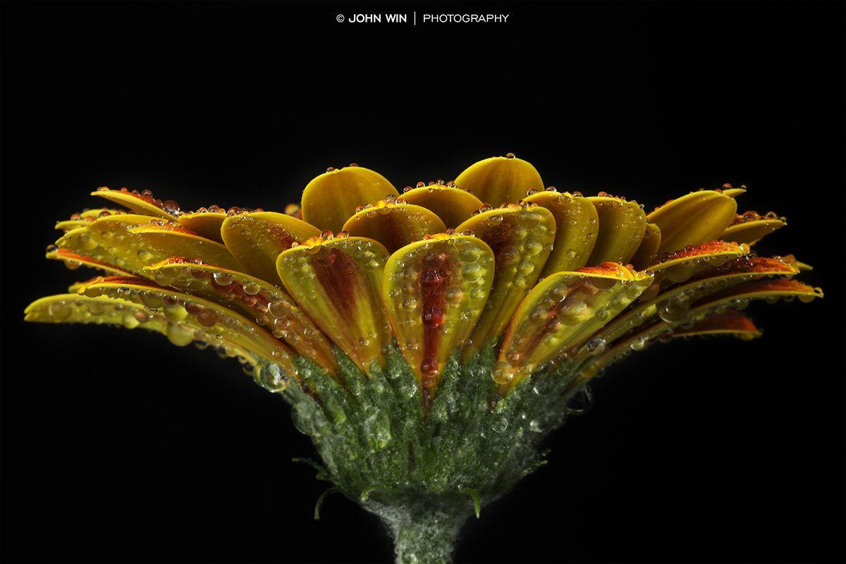 Waterdrops on Yellow Gerbera by Johann Winterholler on 500px